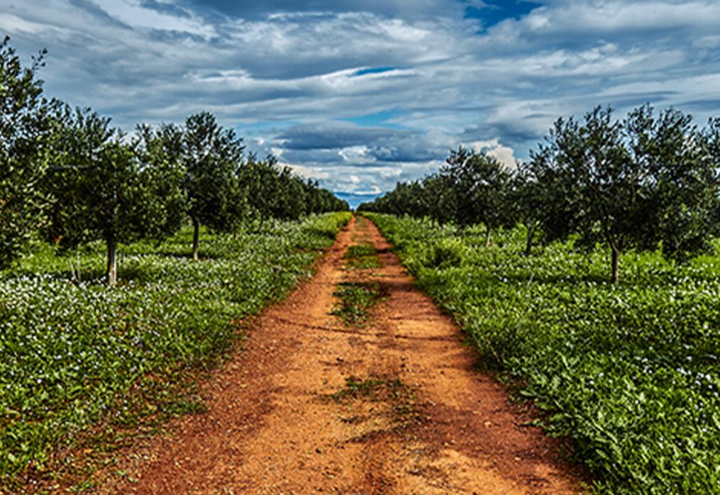 Olio: la raccolta delle olive 2019