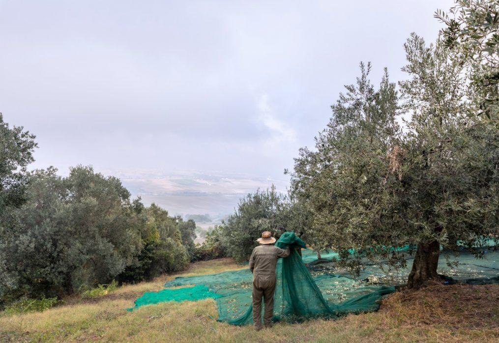 Fioritura, allegagione e… olive! Le attività nell'uliveto di Luca in estate